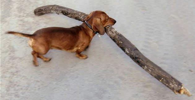 15 Dogs Carrying Huge Sticks