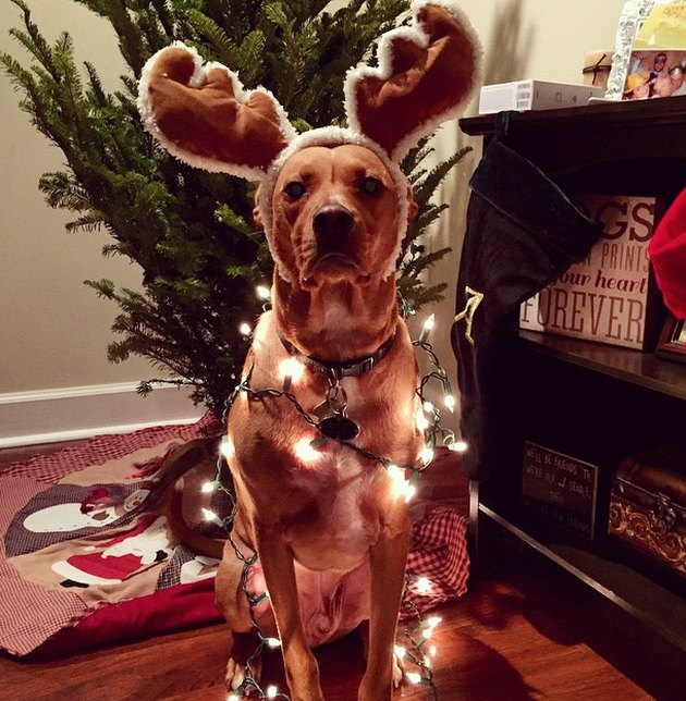 Dog wearing reindeer antlers and christmas lights.