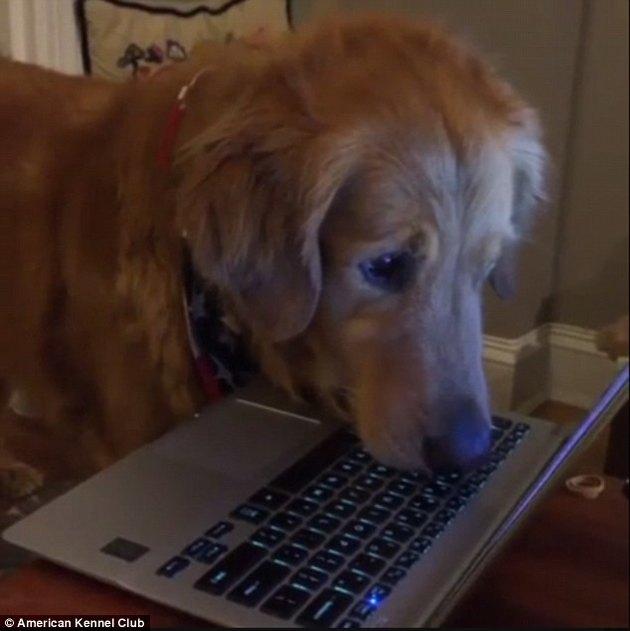 Dog staring at computer.