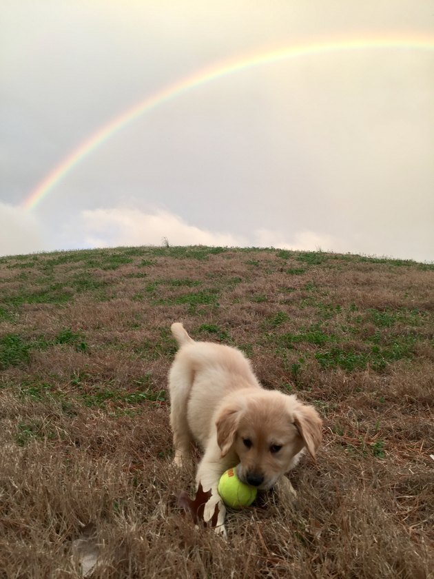 Dog in a field with a tennis ball under a rainbow.