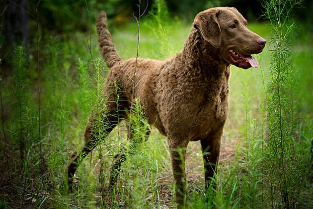 Chesapeake Bay Retriever Dog Breed Facts & Information