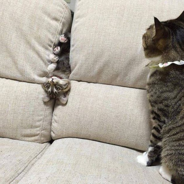 Kitten wedged between couch cushions as mamma cat looks on proudly