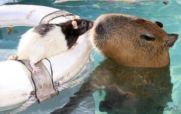 Capybara and rat in swimming pool.