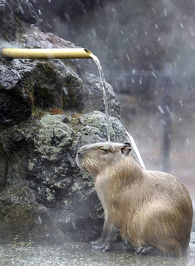 Capybara under waterspout.
