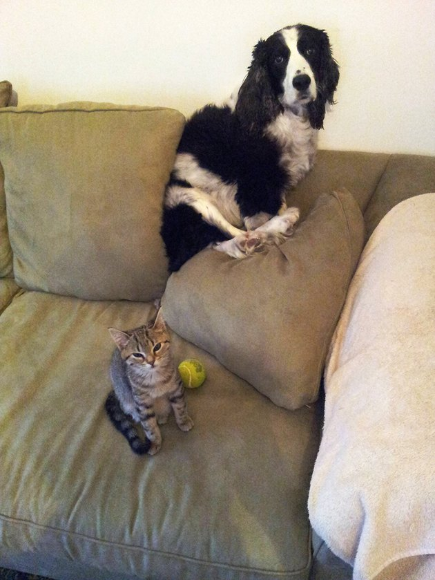 Dog on back of couch behind stern-looking kitten.
