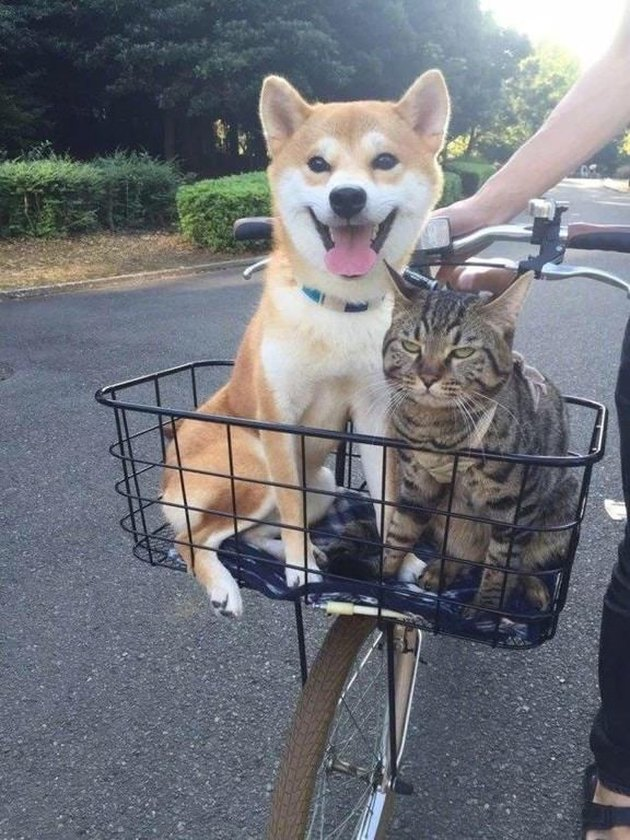 Cat not having fun on a bike ride with dog