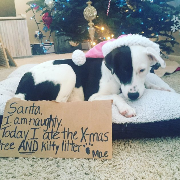 "Dog looking downcast next to sign that reads ""Santa, I am naughty. Today I ate the X-mas tree AND kitty litter."""