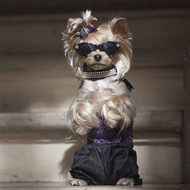 Dog in sunglasses and dress