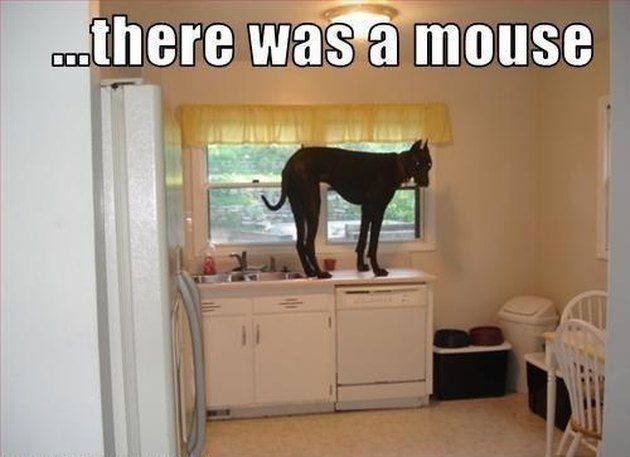 Great Dane stands on a kitchen counter.