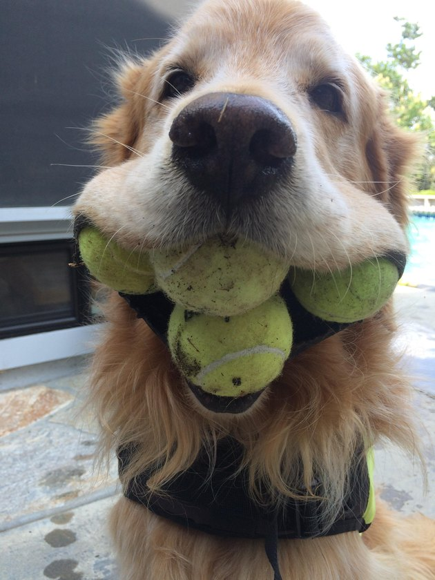 dog with four tennis balls in mouth