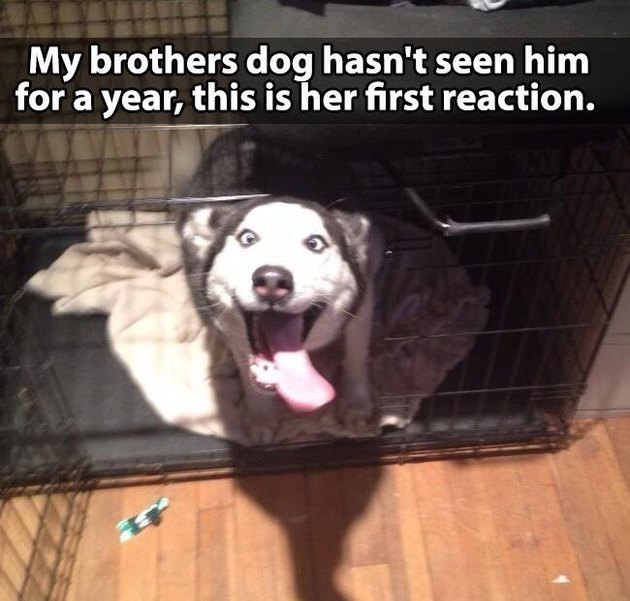 Dog in kennel looking very happy. Caption: My brother's dog hasn't seen him for a year, this is her first reaction.