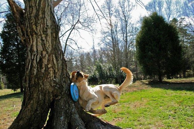 Dog and frisbee crashing into a tree.