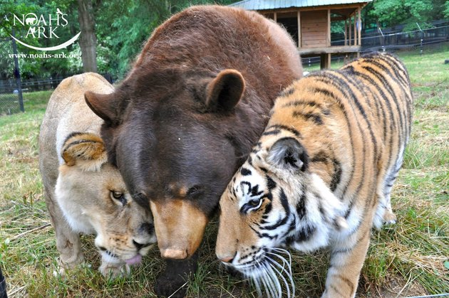 Tiger, bear, and lion