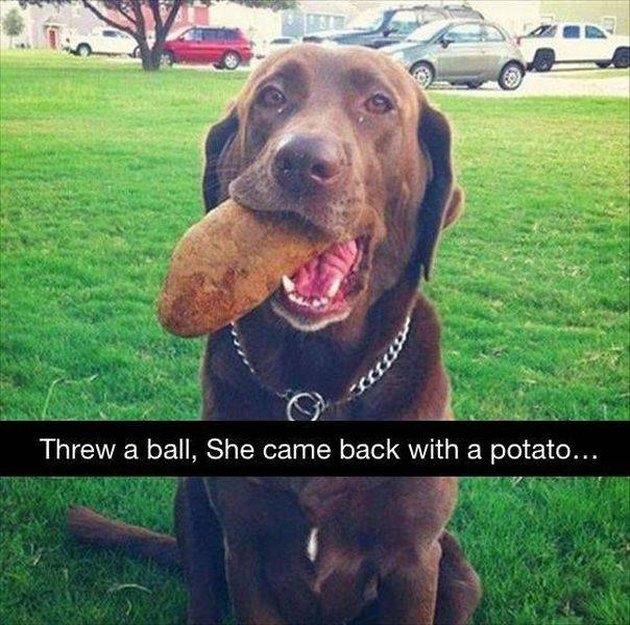 Dog carrying a potato.