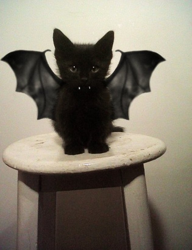 Cat dressed as a bat.