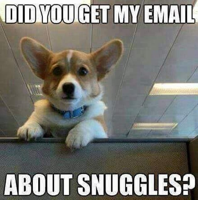 "Corgi peeking over cubicle with text ""Did you get my email about snuggles?"""