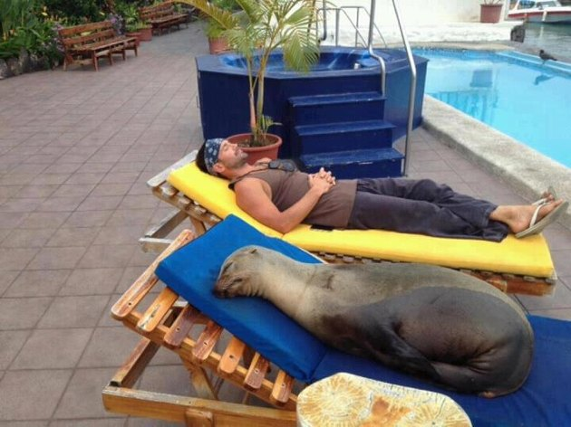 Seal lying on lounge chair next to pool.