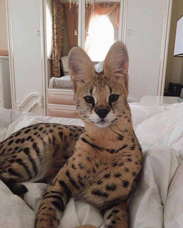 Why is this wild Serval cat chilling on a human bed?