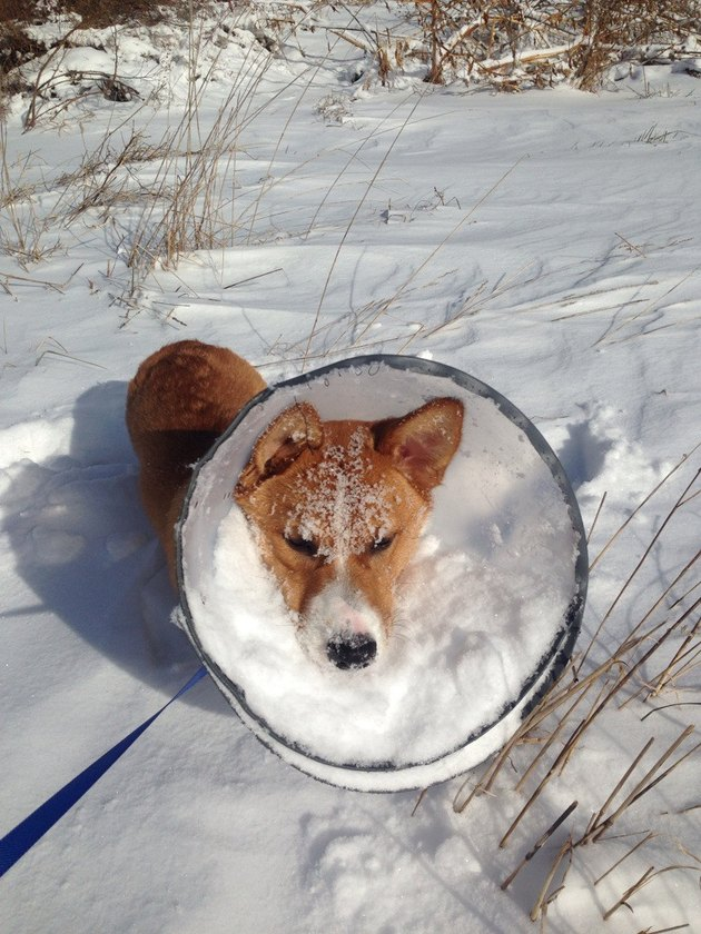 Dog wearing E-collar with snow