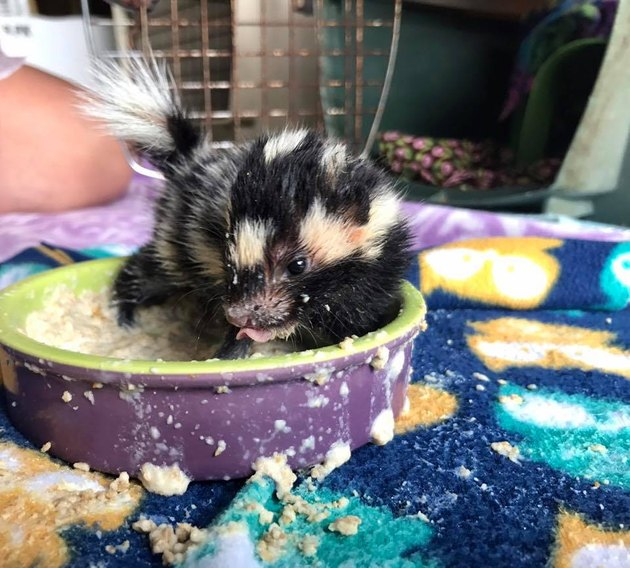 Nothing Stinks About These Five Baby Skunks Who Were Rescued