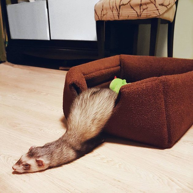 Ferret sliding out of pet bed.