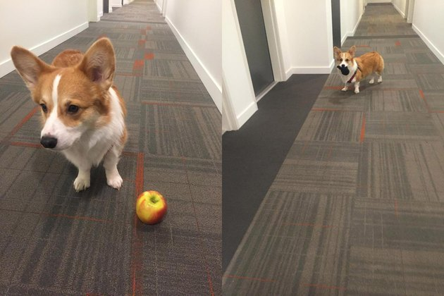 Two shots of Corgi playing with an apple