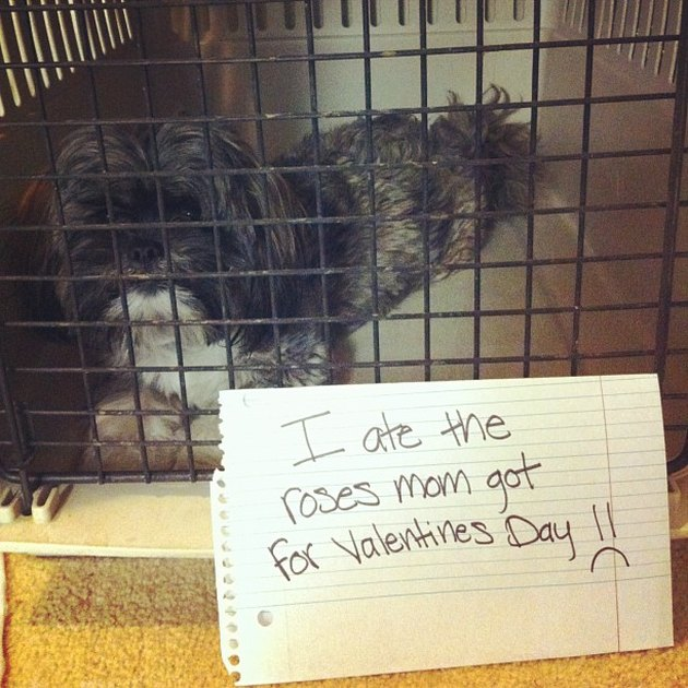 "Dog in a crate with a sign that says ""I ate the roses mom got for Valentines Day"""