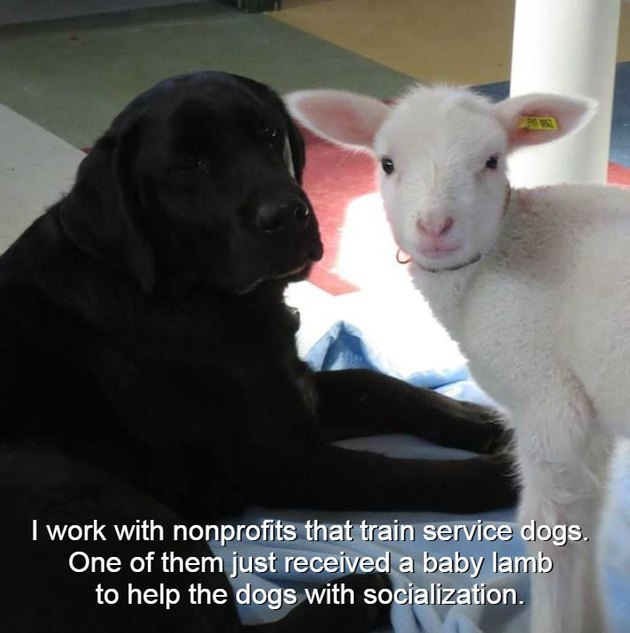 Service dog with a baby lamb.