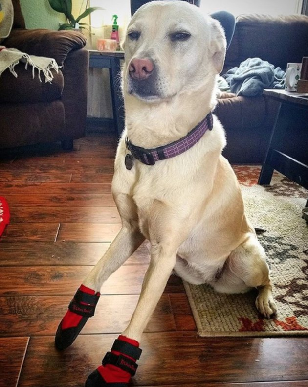 Dog not impressed with booties