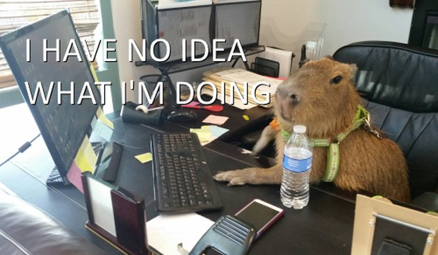 Capybara in an office.
