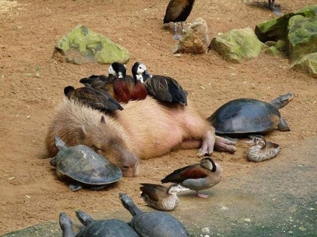 Capybara sleeping on a turtle with ducks sleeping on top