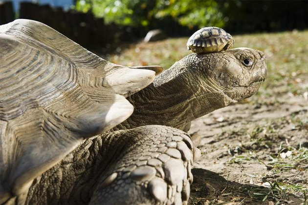 Very large tortoise with small tortoise on its head