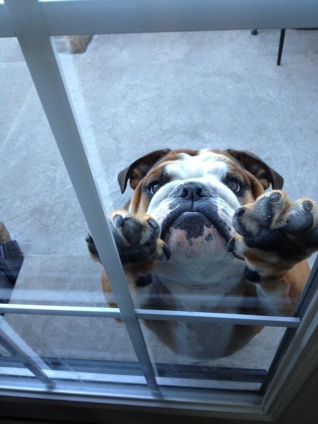 Bulldog with front paws pressed against glass