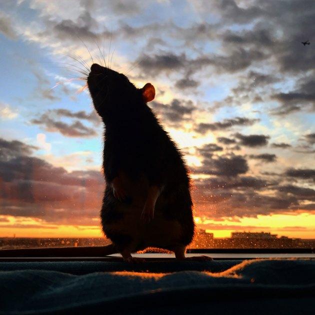 Rat and a beautiful sunset