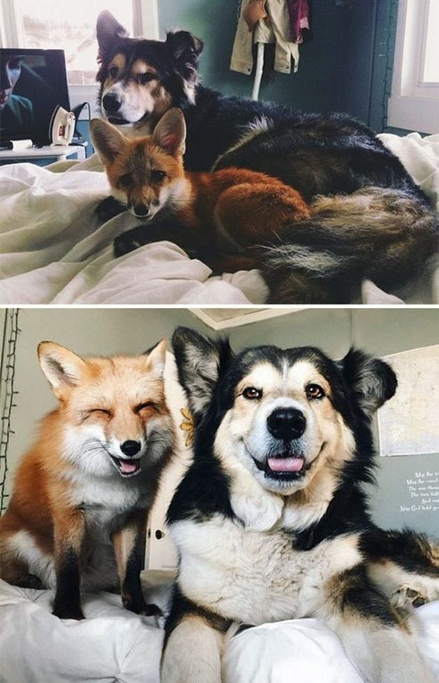 Photo of young fox and puppy next to same fox and dog as adults.