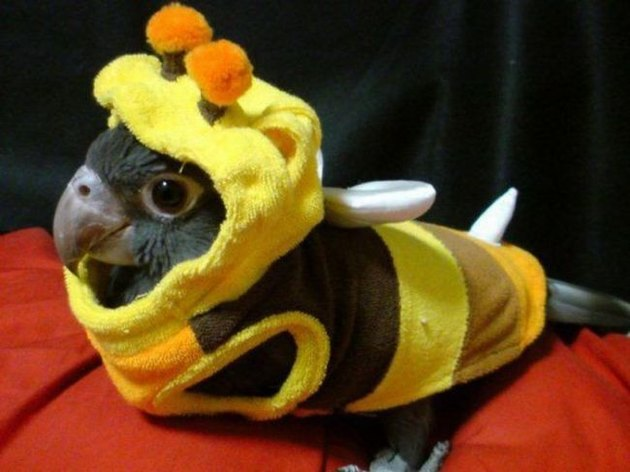 Bird dressed as a bee.