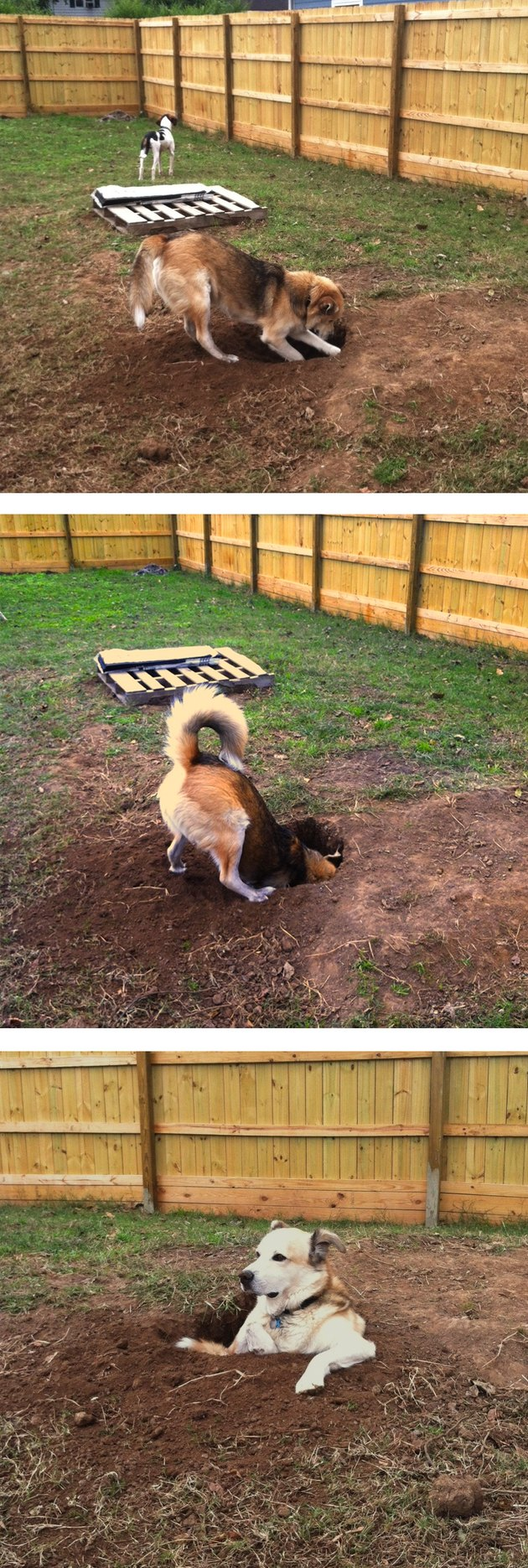 Photo set of dog digging hole
