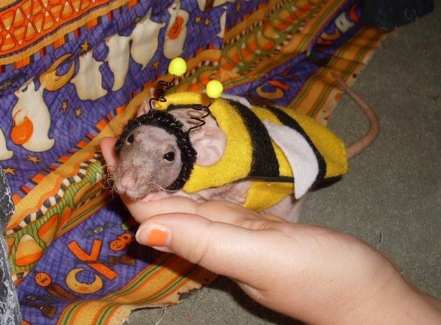 Rat dressed as a bee.