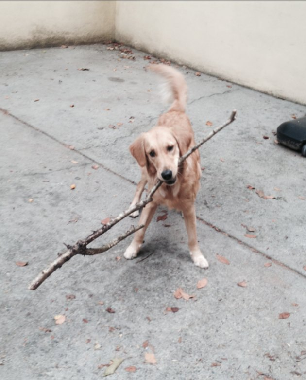 dog with big stick