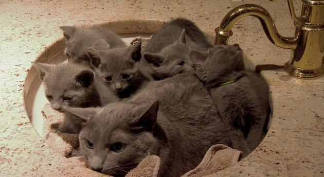 Annoyed cat surrounded by kittens