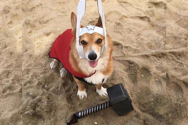 """Corgis Are Dressing As Thor Because """"Thorgis"""""""
