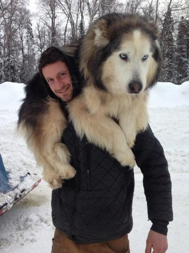 Man carrying big dog on shoulders.