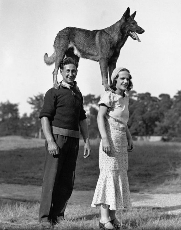 Vintage photo of a German shepherd standing on the shoulders of two people