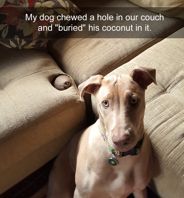 "Dog next to couch with indentation containing a coconut. Caption: My dog chewed a hole in our couch and ""buried"" his coconut in it."