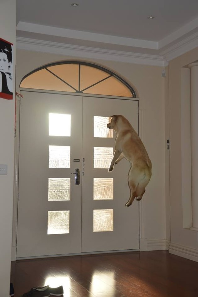 Large yellow dog is jumping several feet in the air in front of a door.