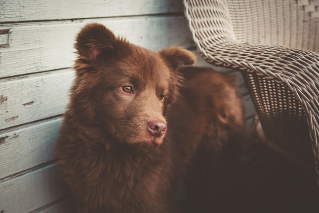 Mixed breed dog that looks like a bear with a contemplative expression