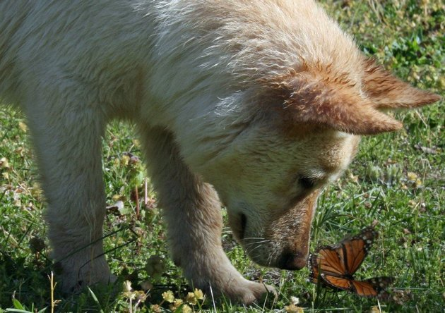 Dog looking closely at butterfly in grass.