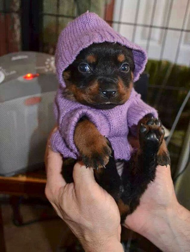 Rottweiler puppy in purple knitted hoodie.