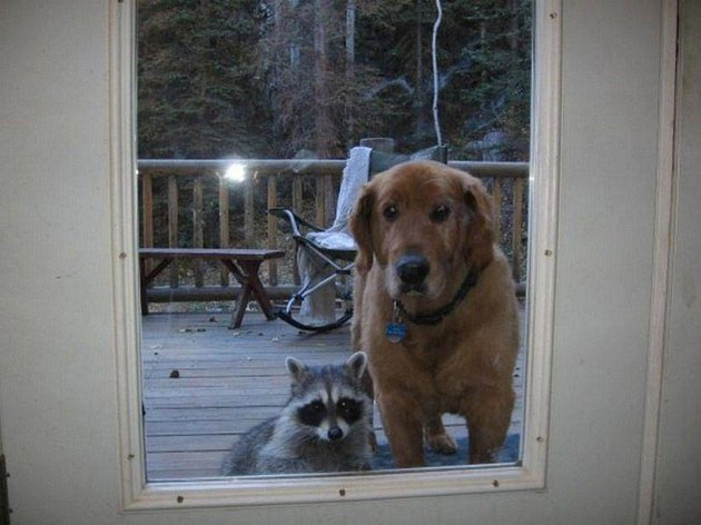 Dog and raccoon looking through glass.