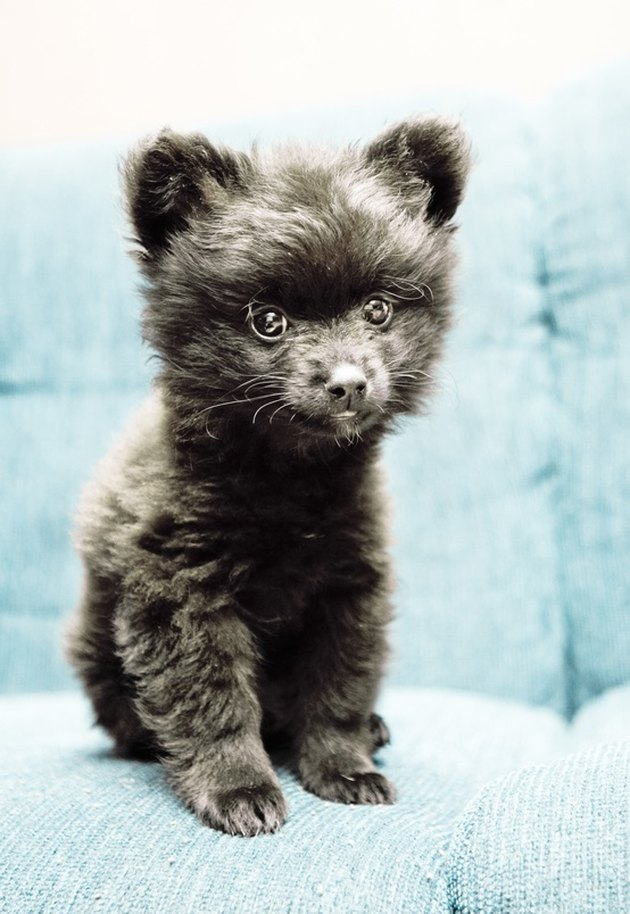 Puppy that looks like a bear cub